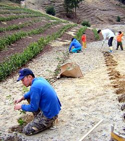 開植 茶の苗木 植林