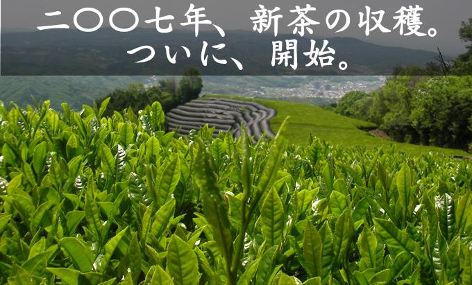 05/11 新茶の収穫開始!