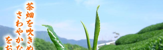 茶畑を吹き抜けるさわやかな春の香りをお届けします